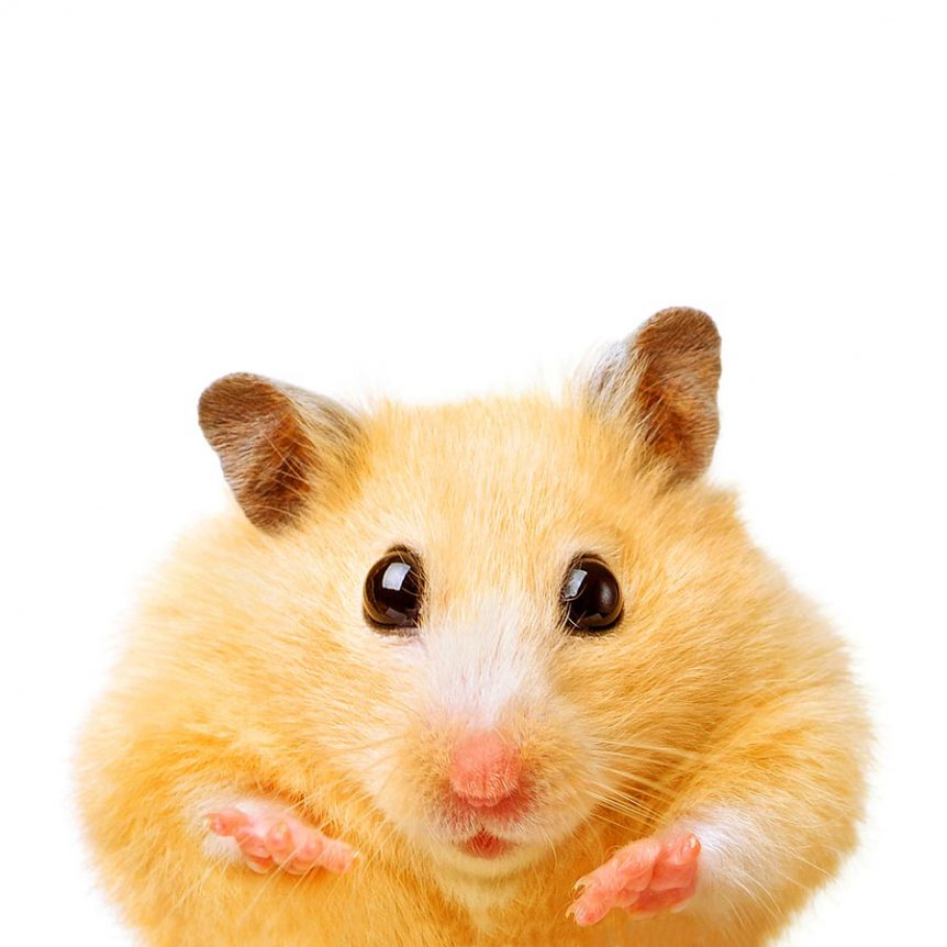 photo of a funny hamster on a white background