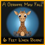 A Giraffe May Fall 6 Feet When Born!