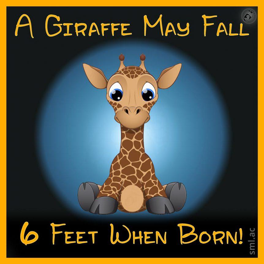 A Giraffe May Fall 6 Feet When Born!