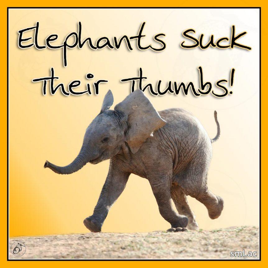 Elephants Suck Their Thumbs!
